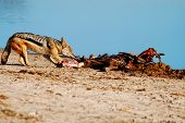 Black-backed Jackal scavenging from a Blue Wildebeest kill.