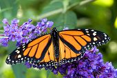 stock photo of monarch butterfly  - close - JPG