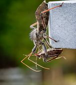 Assassin Bug Kills Shield Bug
