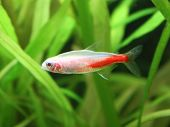 picture of fresh water fish  - Beautiful freshwater Gold Neon fish in aquarium - JPG