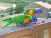 Two Australian Rainbow Lorikeets eating