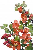 Blossoming Japanese Quince (chaenomeles)