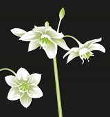 Flower White Eucharis