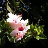 Neve Monosson Pink Hibiscus 2010