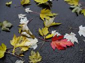 Fallen Wet Leaves