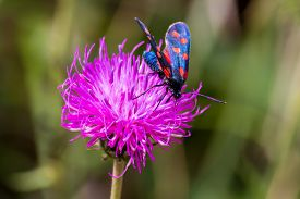 stock photo of six-petaled  - close up of a moth six-spot burnet (Zygaena filipendulae) on a purple flower