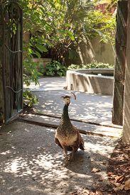 picture of female peacock  - Female peacock  - JPG