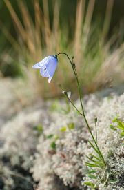 image of blue-bell  - Blue Bell in the grass on a blurred background - JPG