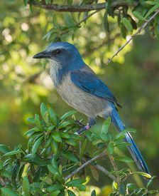 stock photo of scrubs  - A banded Florida Scrub-jay a federally threatened species perches in the bushes of its scrub habitat in a central Florida wildlife area. ** Note: Visible grain at 100%, best at smaller sizes - JPG