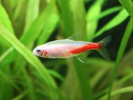 stock photo of fresh water fish  - Beautiful freshwater Gold Neon fish in aquarium - JPG