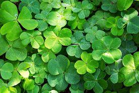 picture of irish moss  - Close - JPG