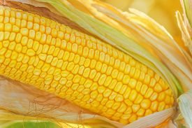 image of corn cob close-up  - Corn cob on ear in harvest ready cornfield close up with selective focus - JPG