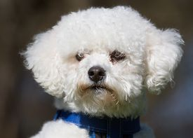 foto of bichon frise dog  - A purebred bichon frise dog without leash outdoors in the nature on a sunny day - JPG