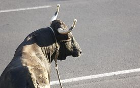 picture of bullfighting  - Traditional azores bullfighting feast in Terceira - JPG
