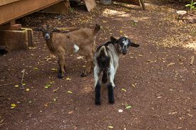 pic of baby goat  - Two little baby goats on the farm - JPG