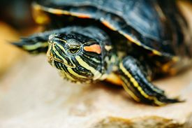stock photo of terrapin turtle  - Small Red - JPG