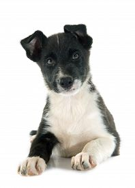 picture of collier  - puppy border collier in front of white background - JPG