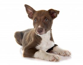 pic of collier  - puppy border collier in front of white background - JPG