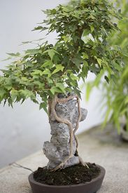 picture of trident  - Bonsai tree in small pot  - JPG