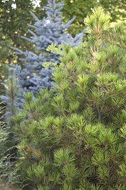 foto of pinus  - Garden scene with trees  - JPG
