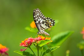 pic of lantana  - Lime butterfly Papilio demoleus on Lantana flower - JPG