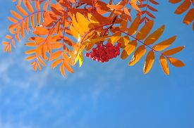 stock photo of mountain-ash  - Branch of a red mountain ash against the blue sky - JPG