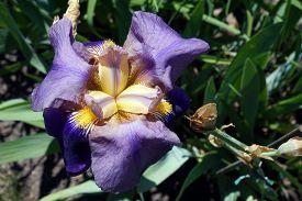 pic of purple iris  - A closeup of a purple bearded rhizomatous iris  - JPG