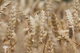 pic of carbohydrate  - Macro photography of the grain - JPG