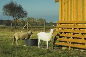 stock photo of feedlot  - sheep and goat on a paddock on a farm  - JPG