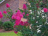 stock photo of crepe myrtle  - a blooming crape myrtle shrub in yard - JPG