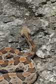 picture of timber rattlesnake  - A large Missouri timber rattlesnake photographed from a high angle to show the cryptic chevron pattern on it - JPG