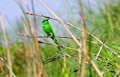 The Little Green Bee Eater Bird