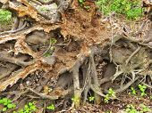 tree uprooted roots