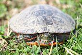 stock photo of winnebago  - Painted Turtle  - JPG