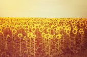 Sunflower Field At Sunset. poster