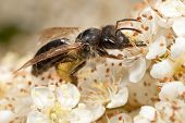 Mining Bee On Pyracantha