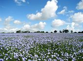 Blue flowers field