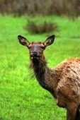 Elk Looking At Me