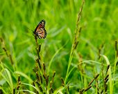 Monarch On Green Background