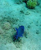 Blue Marbled Trigger Fish