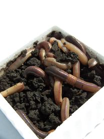 stock photo of nightcrawler  - Muddy and dirty earthworms in dirt of a styrofoam container - JPG