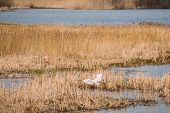 Fauna Of Belarus. Great Egret Or Ardea Alba, Also Known As The Common Egret, Large Egret, Or Great W poster
