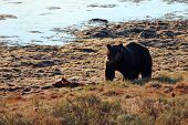 Male Grizzly Standing Guard Over Elk Fawn Carcass Next To Yellowstone River In Yellowstone National  poster
