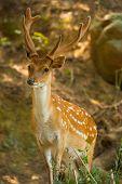Formosan Sika Deer Forest V