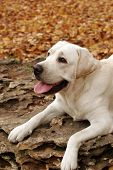 Yellow Labradors In The Park In Autumn
