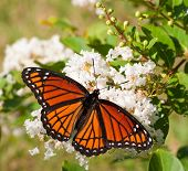 Viceroy butterfly feeding on a cluster of white flowers in a garden