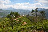 Nuwara Eliya Tea Plantation In Sri Lanka. Nuwara Eliya Is The Most Important Place For Tea Plantatio poster