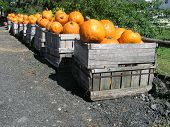 Crates Of Pumpkins