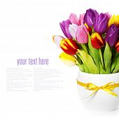 fresh spring tulips on white background (with sample text)