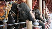 Daily Elephant Show At The Thai Elephant Conservation Center,tourism Feeding The Elephant Banana Bef poster
